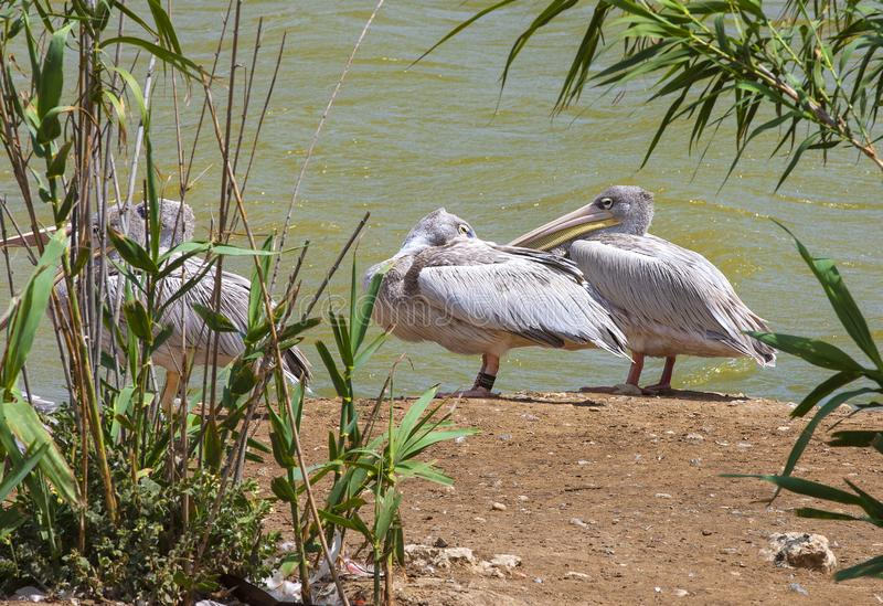 Great white or eastern white pelican, rosy pelican or white pelican is a bird in the pelican family.It breeds from southeastern Eu. Rope through Asia and in royalty free stock photos