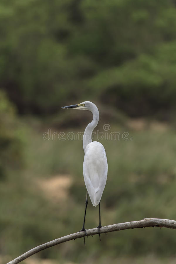 Download Great White Egret stock photo. Image of bird, animal - 27276708