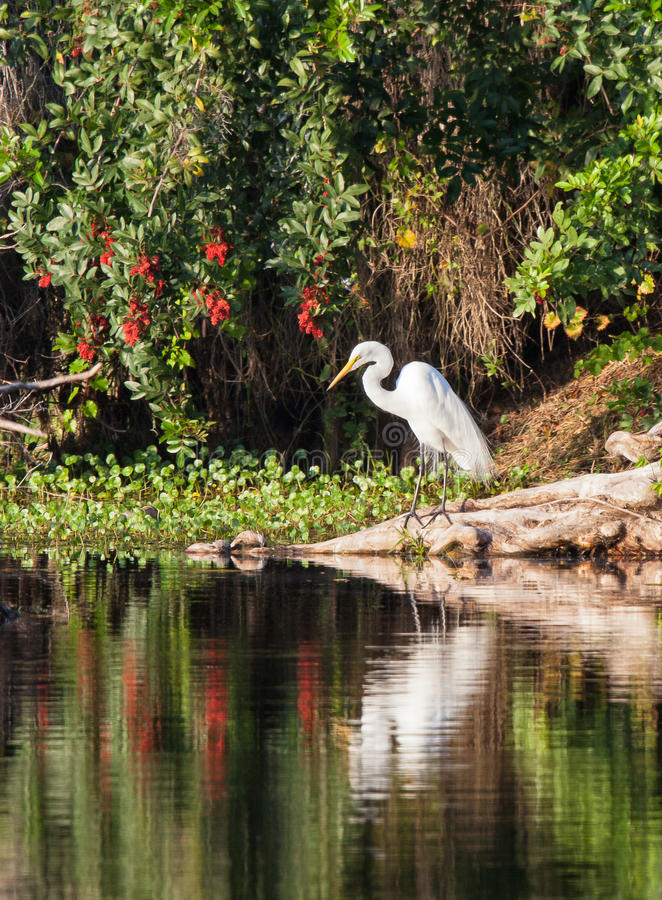 Free Great White Egret Stock Images - 29918564