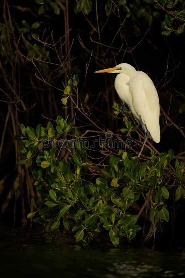 Great White Egret - Ardea alba. Beautiful large egret from World fresh waters, La Somone, Senegal royalty free stock images