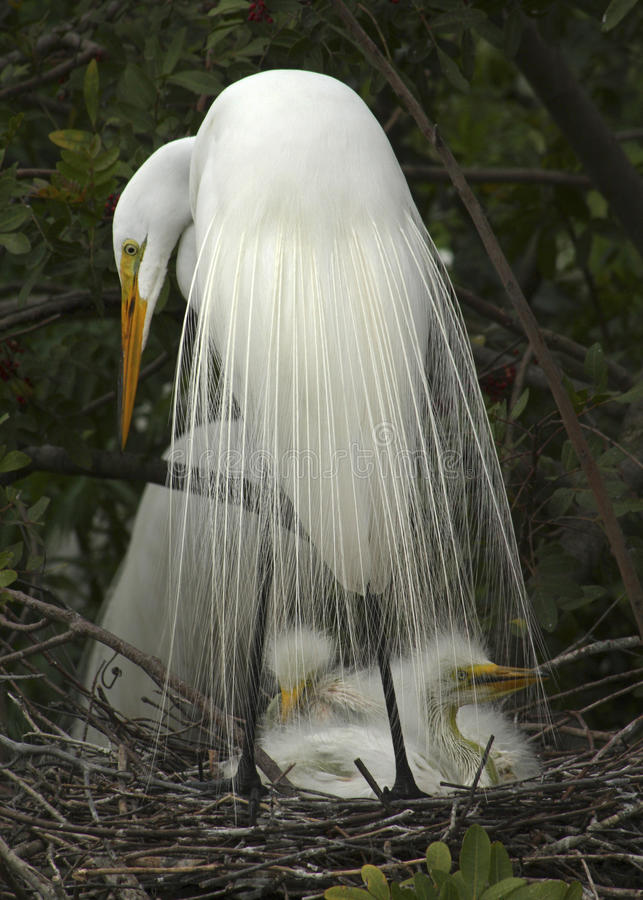 Great white egret with babies in nest. Great egret and babies in nest. Kissimmee, Florida. Scientific name: Ardea alba. In the early 20th century, breeding royalty free stock images