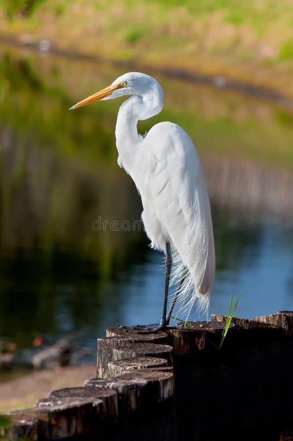 Great white egret, beautiful bird in Florida. Great white egret in its natural habitat. Florida, USA stock photography