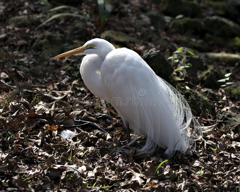 Great White Egret Stock Photos.  Image. Portrait. Picture. Close-up profile view. Resting. Bokeh background. Great White Egret bird close-up profile view resting royalty free stock photos