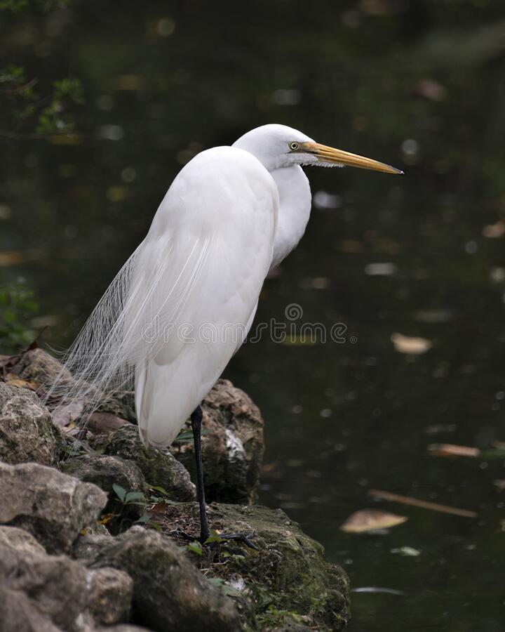 Great White Egret bird stock photo.  Image. Portrait. Picture. Close-up profile view.  Water background.  White feathers plumage. Great White Egret bird close stock photography