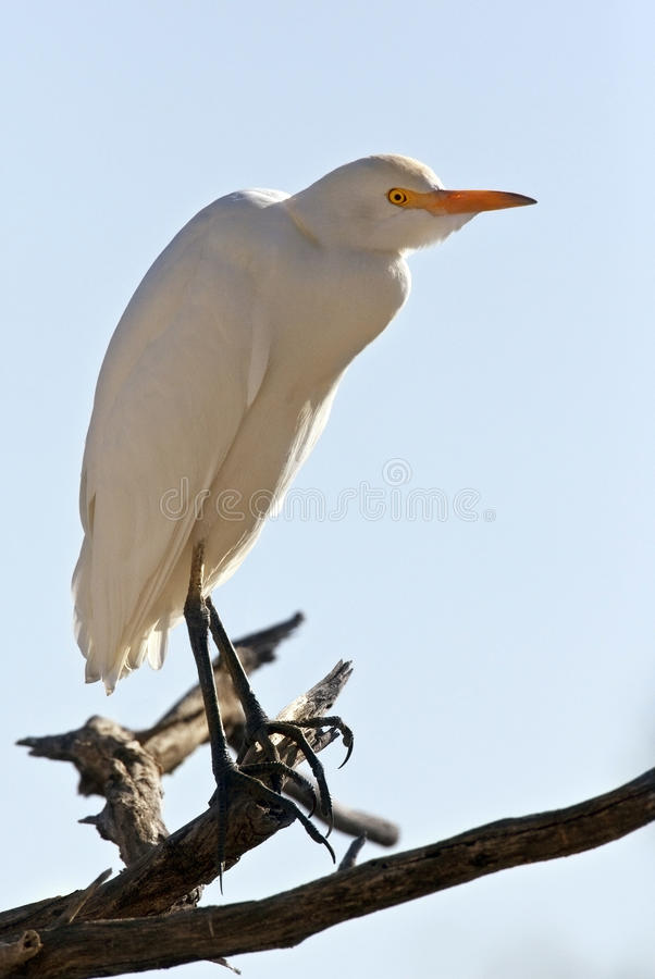 Great White Egret - Botswana stock photography