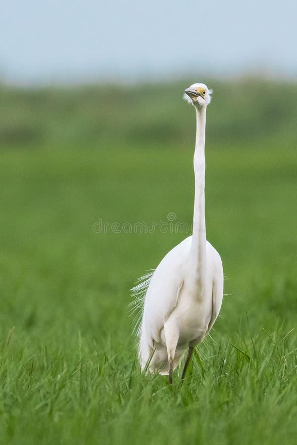 Great White Egret. In breeding plumage at mangalajodi Wetlands stock image