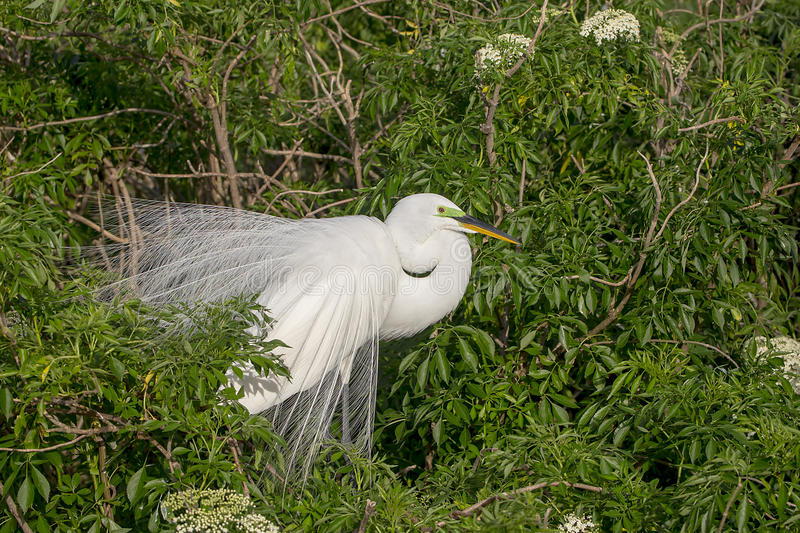 Great White Egret. A great white egret in breeding wispy plumage and lime green lores stock photo