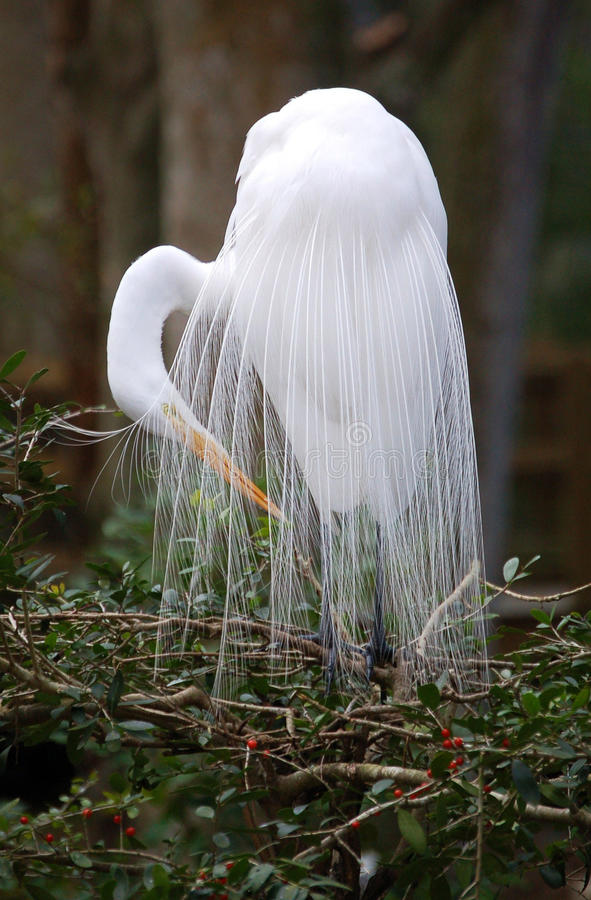 Great White Egret in bridal plumage close up royalty free stock photography