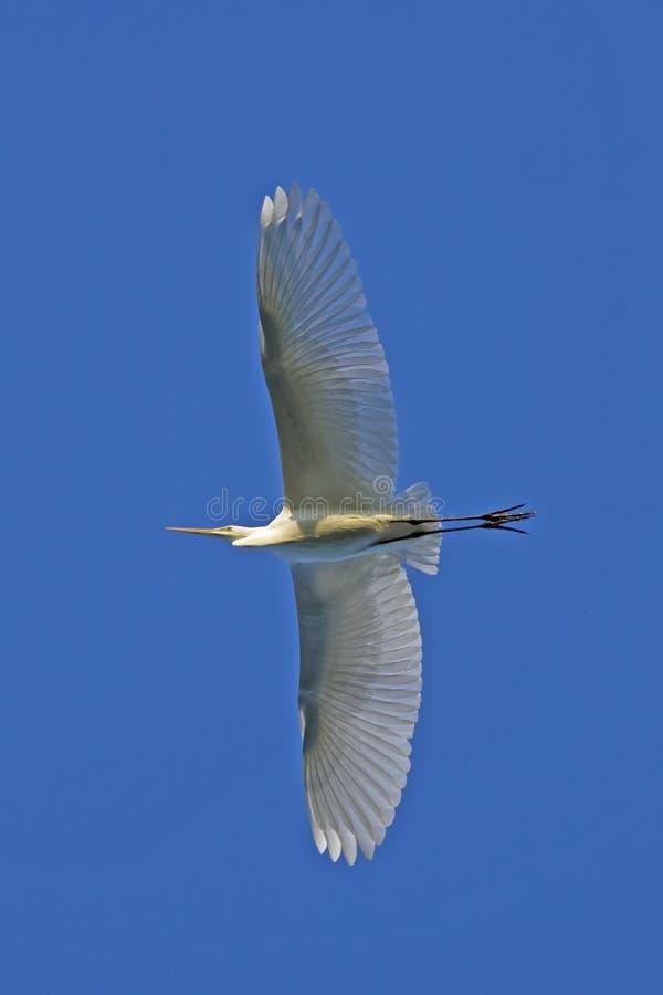 Download Great White Egret / Casmerodius Albus Stock Image - Image: 12005181