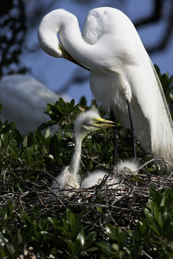 Great White Egret with Chicks stock photos