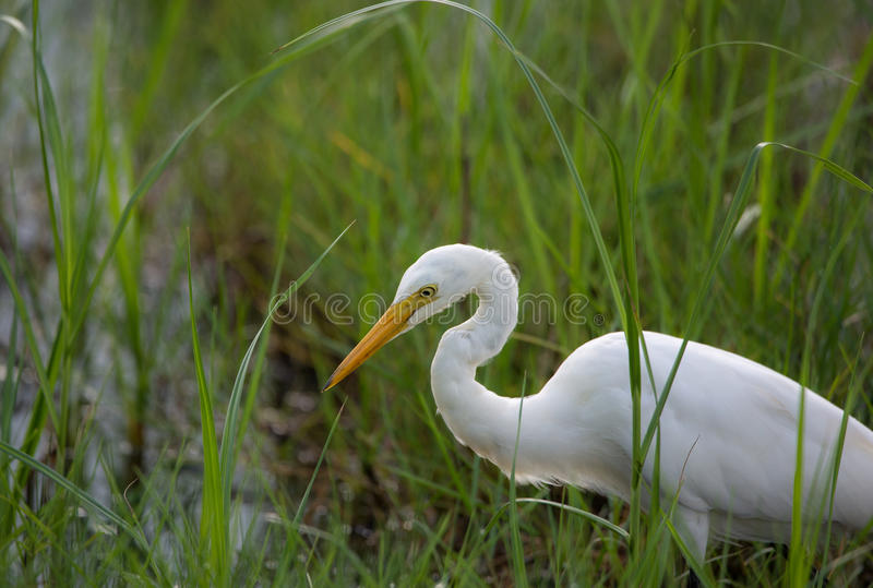 Great White Egret in contrast to a green paddy field royalty free stock images