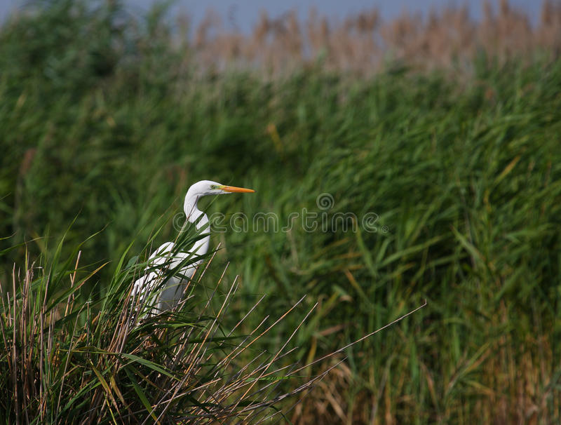 Download Great White Egret Egreta Alba Fishing Stock Photography - Image: 10424072