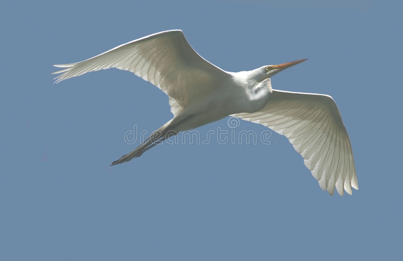 Download Great White Egret In Flight Stock Photo - Image: 511236
