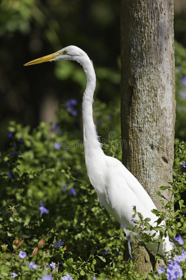 Great White Egret. Between flowers royalty free stock images