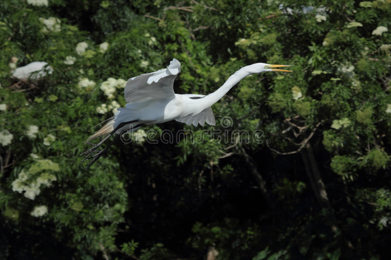 Great white egret flying against shrubs of the rookery, Florida. stock photo