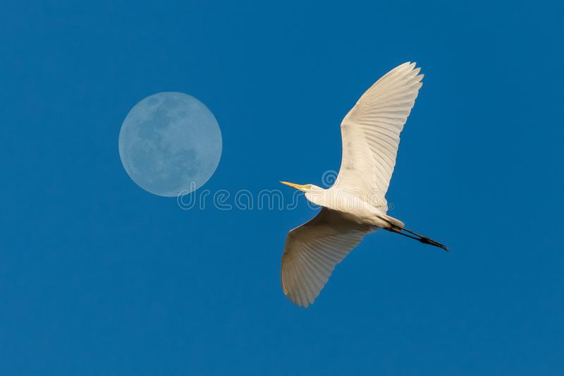 Great white egret flying by the full moon with blue sky on background royalty free stock photography