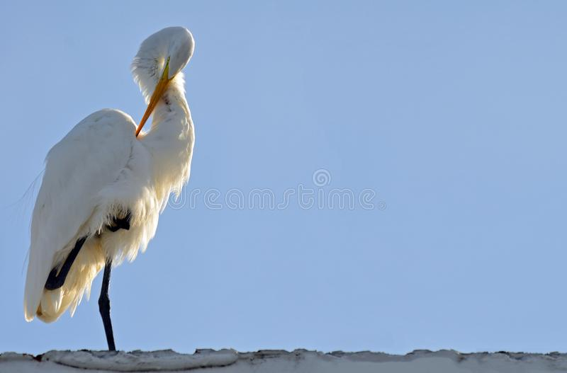 A great white egret grooming under wing with claw tucked up to chest, sunlit from behind with light blue sky background. Room for. Great white egret standing to royalty free stock images