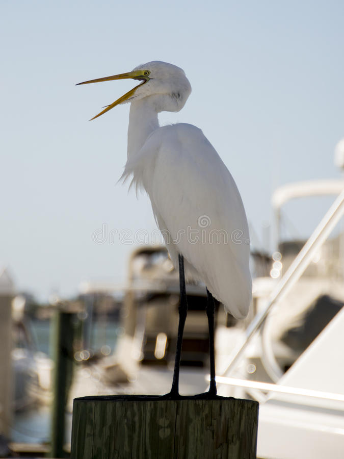 Great white egret at a harbour royalty free stock photos