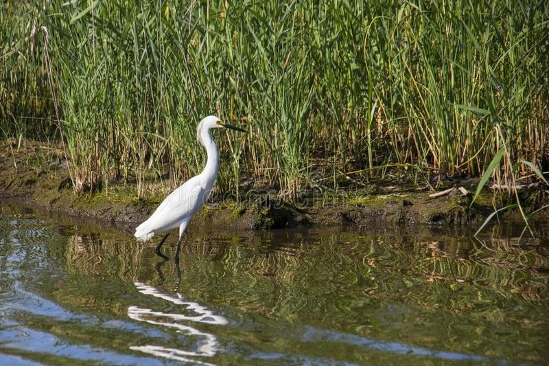 Great White Egret on the Hunt stock image
