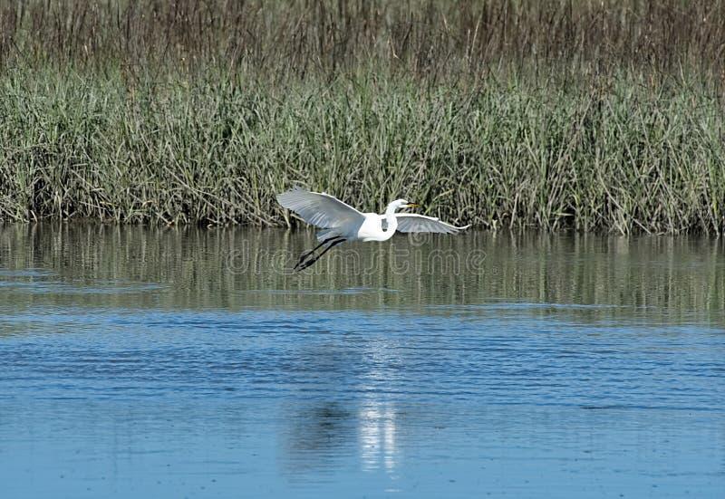 A great white egret landing in a salt-marsh. stock photo
