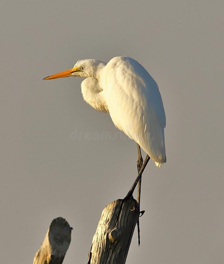 Great White Egret na jeden nodze zdjęcia royalty free