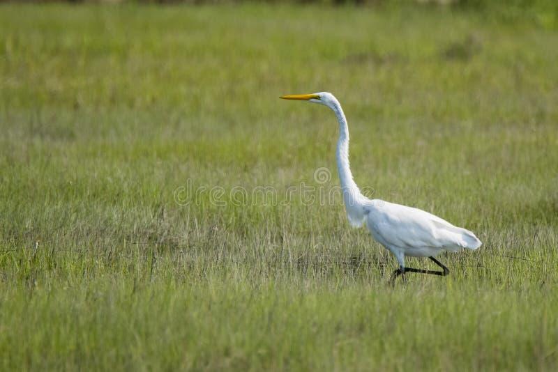 Great White Egret odprowadzenie przez pola obraz stock