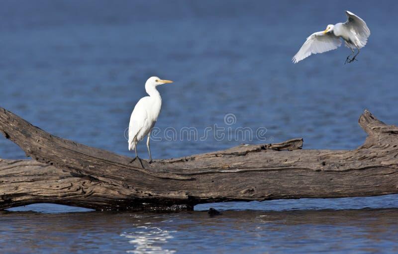 Great White Egret - Okavango Delta - Botswana stock images