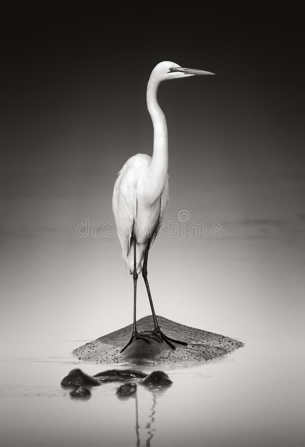 Free Great White Egret On Hippo Royalty Free Stock Image - 27645326