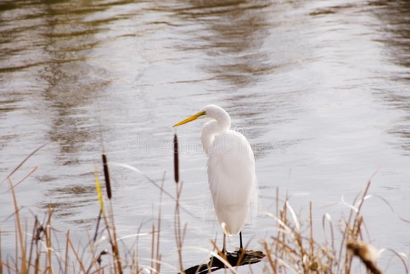 Great White Egret Perched in Shallow Marsh Water. One great white egret is perched in some shallow water of a marsh at Huntington Beach State Park in South stock photography
