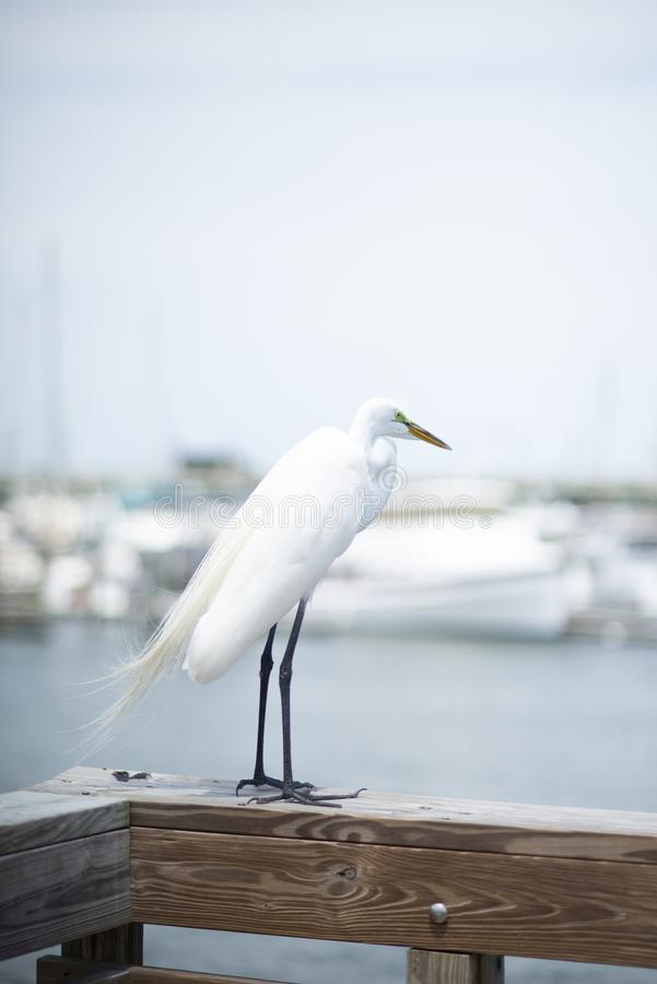 A Great White Egret perches on a pier along the Matanzas river in St. Augustine, Florida USA royalty free stock photos