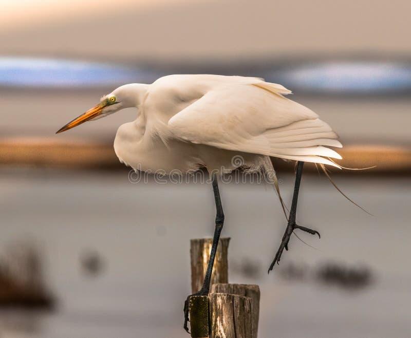 Great White Egret r?wnowa?enie na jeden nodze zdjęcie royalty free