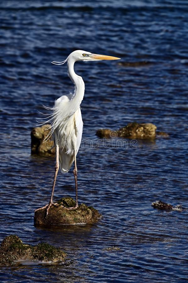 Great White Egret on a rock stock images