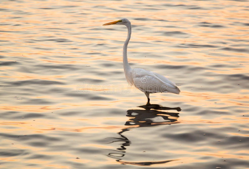 Great white egret in the sea off Tampa in Gulf royalty free stock photography