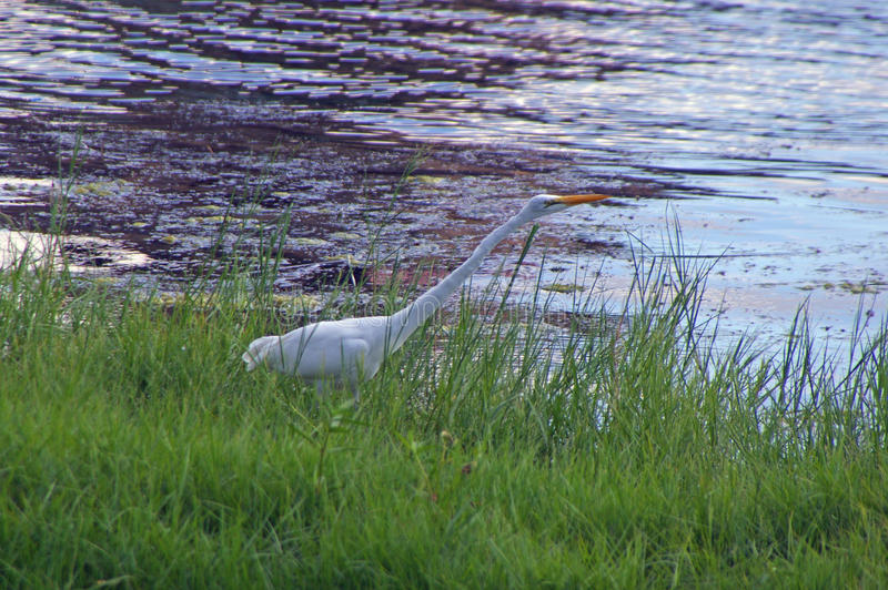 A Great White Egret on the Shore of a Marsh. A tall, stately white wader of quiet waters. Common, especially in the south, it may wander far to the north in late royalty free stock photos
