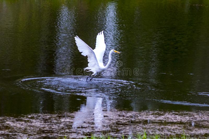 Great White Egret Splash Down stock image