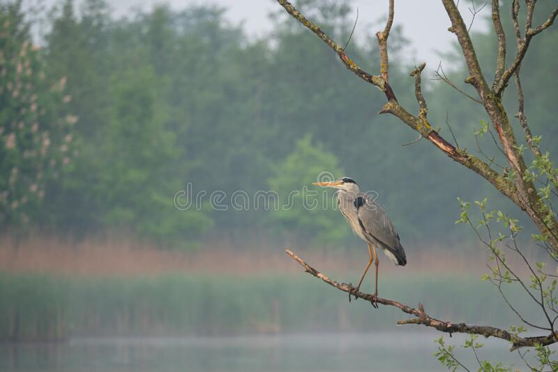 Great White Egret stands on a branch by a lake stock photos