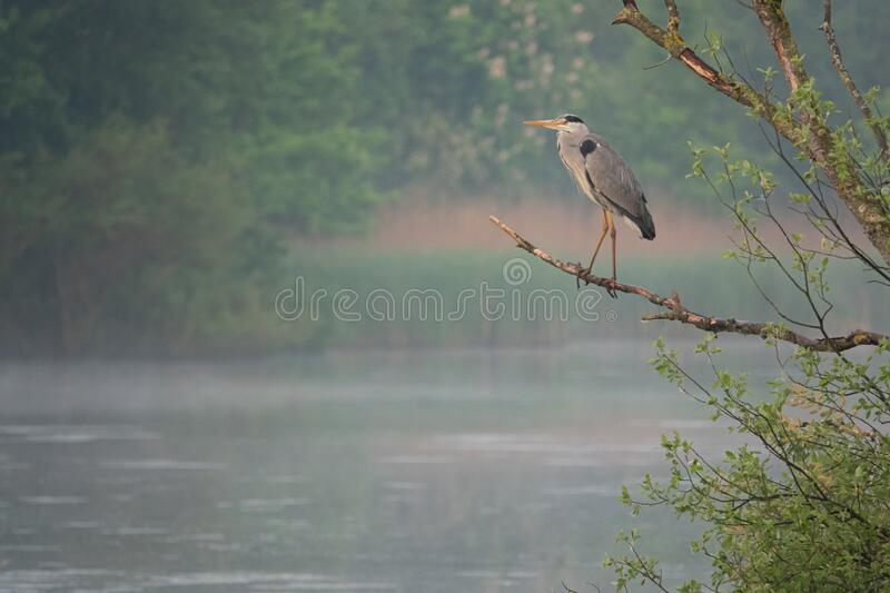 Great White Egret stands on a branch by a lake royalty free stock images