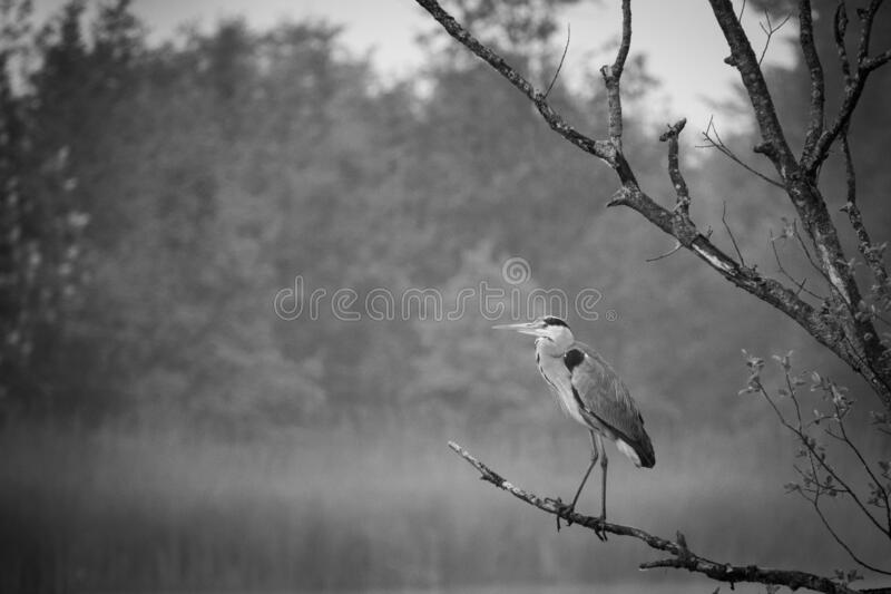 Great White Egret stands on a branch by a lake stock image