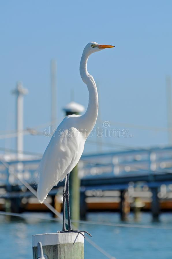 A great white egret with stretched neck standing against a blue background. stock photo