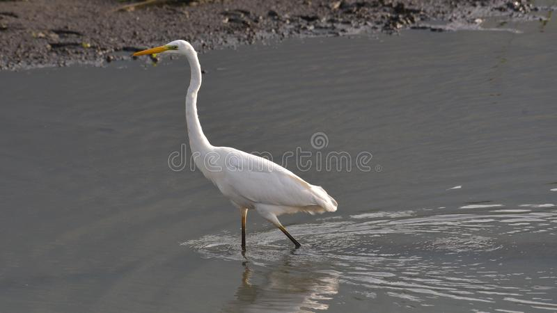Great white egret walking in the shallow water. Of the river, in the summer stock photos