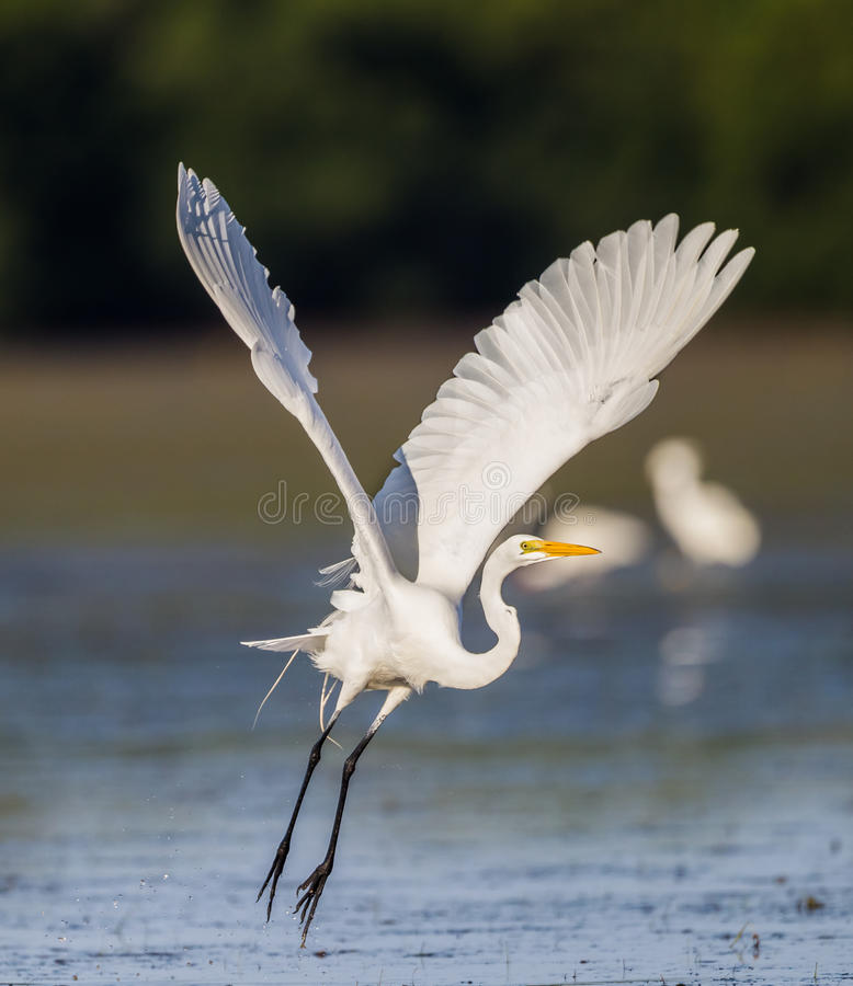 Great white egret with wings stretched out wide, takes off. In Florida stock image