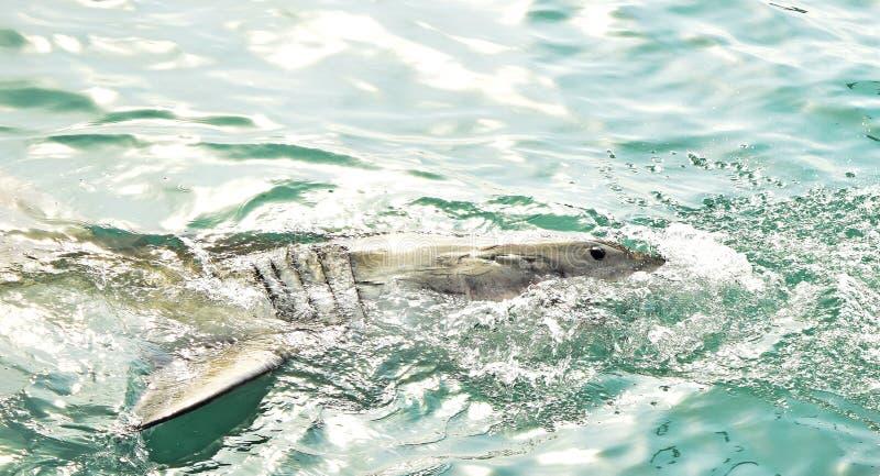Great White haj som bryter igenom havsyttersida f?r att f?nga k?ttdrag och skyddsremsalockf?geln royaltyfria bilder