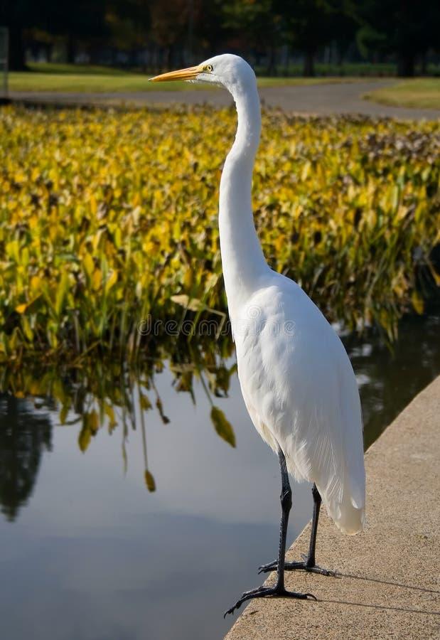 Great White Heron royalty free stock photos