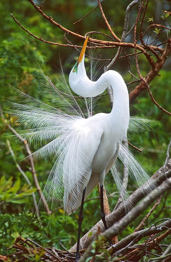 A Great Egret. stock photo