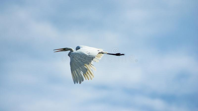 Great white heron, Great egret or Ardea alba portrait in flight against sky, selective focus, shallow DOF stock image