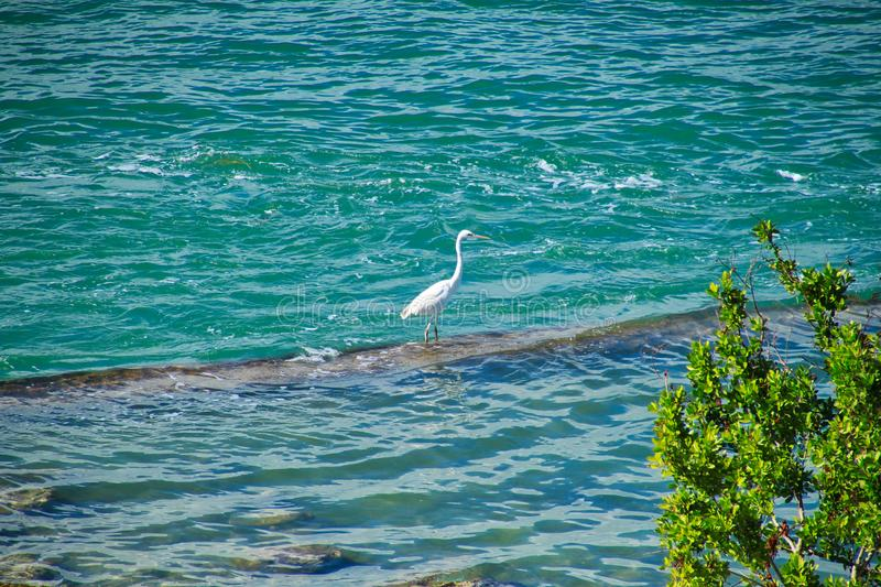 Great white heron perches on rock in Ocean on beach in Florida Keys royalty free stock photos