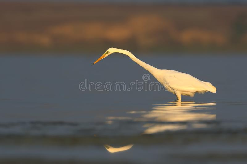 Great white heron stands in the calme water. With reflection in soft morning light stock images