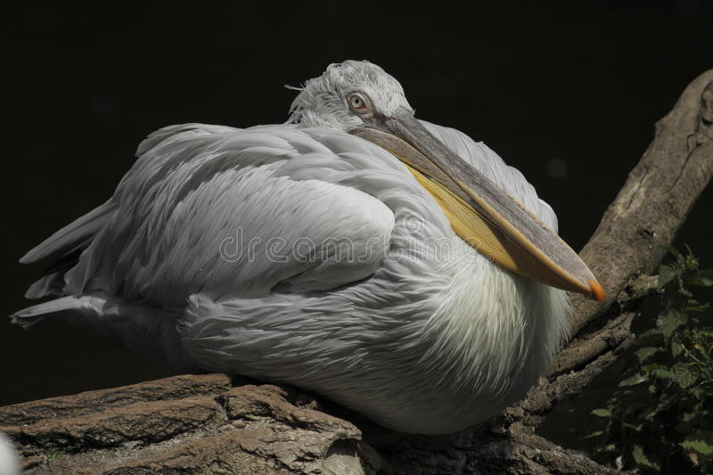 Great white pelican. The Great White Pelican, Pelecanus onocrotalus also known as the Eastern White Pelican or White Pelican is a bird in the pelican family. It stock photos