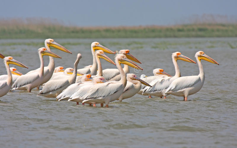 Download Great white pelican stock image. Image of great, migratory - 19727983