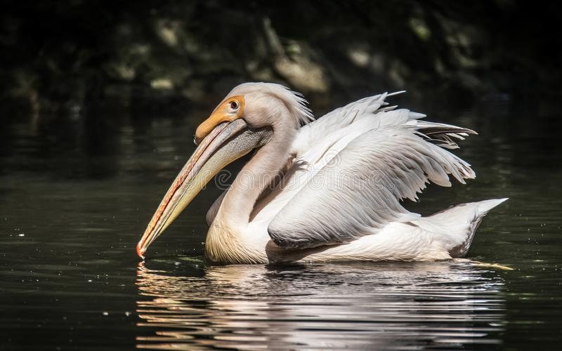 The great white pelican also known as the eastern white pelican, rosy pelican or white pelican. The great white pelican is a bird in the pelican family. It stock photo